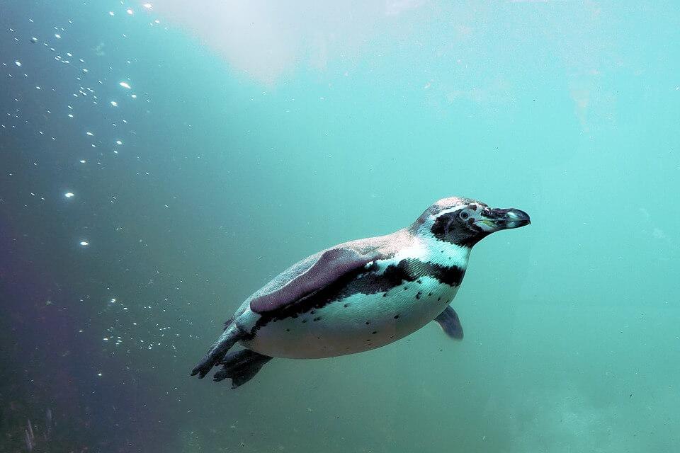 ペンギンが海の中を泳いでいる